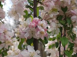 flowering crabapple trees knecht s nurseries landscaping