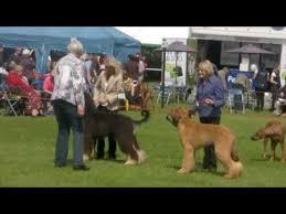 afghan hound national dog show blackpool 2016 afghan hound dog challenge youtube