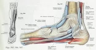 Human Anatomy Anterior Anatomy U0026 Physiology Illustration