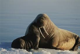 Walrus Meme - create meme walrus walrus walrus meme walrus pictures