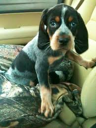 bluetick coonhound exercise well hello bluetick puppy u003c3 pets and animals pinterest