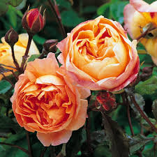 austin native plants small garden english rose collection 6 roses plants to