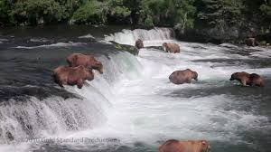 Alaska rivers images Brown bears fishing at brooks river falls katmai nat 39 l pk alaska jpg