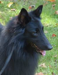 belgian sheepdog laekenois litter plans u2013 blackforest belgian sheepdogs groenendael