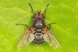 when it u0027s not a house fly it may be a cluster fly here u0027s what to do