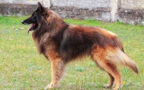 belgian shepherd dog temperament belgian tervuren puppies breed information u0026 puppies for sale
