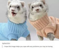 Ferret Meme - ferrets for the win animals know your meme