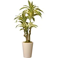 national tree co dracaena plant in pot schoenfisch patio space