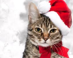 cat christmas christmas cat hd wallpaper