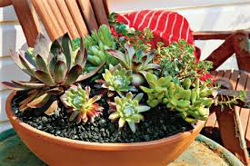 13 succulents that are native how to plant succulents in containers