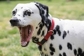 australian shepherd vomiting dog vomiting causes diagnosis u0026 treatment american kennel club