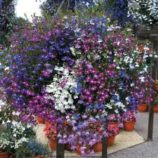 best australian native plants for pots and containers gardening lobelia plant care guide and varieties auntie dogma u0027s garden spot