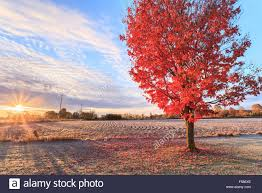 fall colors sunrise rural canada red maple tree