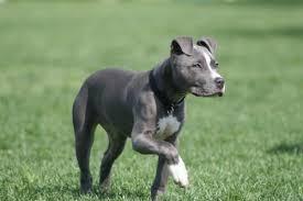 american pit bull terrier breed standard 10 types of pitbull breed you didn u0027t know u2013 toopandas
