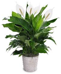 peace lily classic peace lily about best nationwide florist nationwide