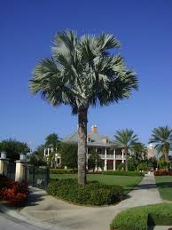 sylvester palm tree sale buy bismark palm trees for sale in orlando kissimmee