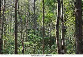teak wood trees stock photos teak wood trees stock images alamy