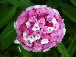 dianthus flower file dianthus barbatus flowers 02 jpg wikimedia commons