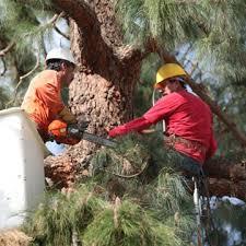 tree service removal and trimming santa ca christianson