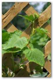 What To Use For Climbing Plants - quick tips for growing cucumbers