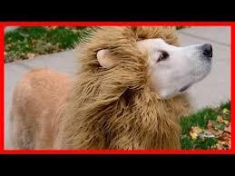 Dog Halloween Costume Lion Mane 1407 Labrador Dogs Images Nylons