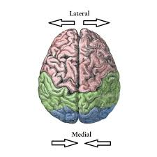 Image Of Brain Anatomy Guide To Basic Brain Anatomy Learn The Parts Of The Brain