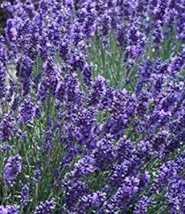 Most Fragrant Jasmine Plant - amazon com jasmine white flowers fragrant house plant 100 real