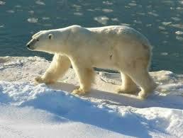 thermoregulation of polar bears ecolology blog