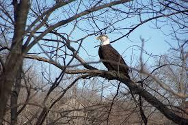 Arkansas wildlife tours images Eagle watching only in arkansas jpg