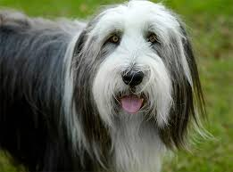 belgian sheepdog dogtime bearded collie dog breed information pictures characteristics