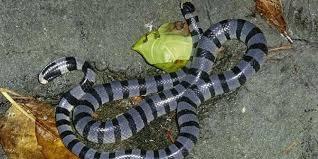 Serum Ular bisa paling mematikan ular laut anti bisa impor dari australia