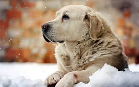 Wallpaper Dog Download Winter Dog Wallpaper Gallery