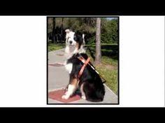 australian shepherd 101 dogs 101 brittany video animal planet youtube dogs pinterest
