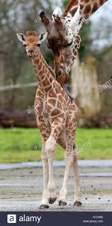 baby giraffe born at chester zoo stock photo royalty free image