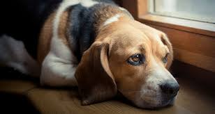 coping with loss of pet dog in mourning helping our pets cope with loss cesar s way