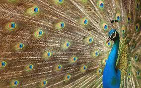 peacock nature wallpapers hd u003e www hotszots eu nature hd
