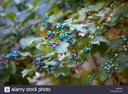 ornamental grape vine stock photos ornamental grape vine stock