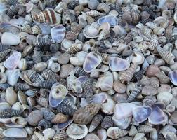 Assorted Seashells Under 1 Inch India Tiny Assorted Seashells For Crafts Wholesale