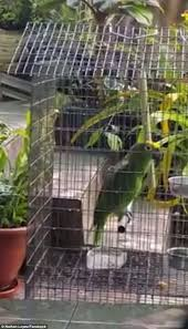 Song Swing From The Chandeliers Adorable Parrot Sings Sia U0027s Number One Hit Chandelier In Hilarious