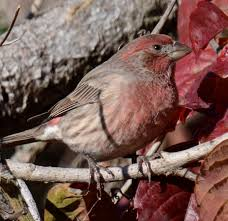 Ontario Backyard Birds What Is This Red Sparrow At My Backyard Feeder Natural Crooks