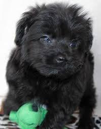 affenpinscher puppies florida mini aussie poo puppy for sale in boca raton south florida c