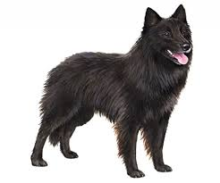 belgian sheepdog puppies for sale uk belgian sheepdog wisdom panel