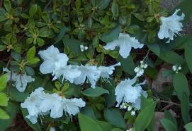 Shrub Small White Flowers - shrub with white flowers today eastern massachusetts