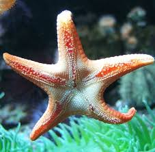 Starfish Meme - stingy starfish know your meme