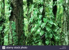 philodendron philodendron spec rain forest in costa rica