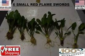 Small Tank Aquascaping 6 Small Red Flame Sword Plants Easy Aquarium Aquascaping Planted