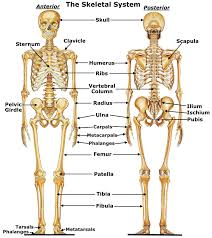 human anatomy chart page 127 of 202 pictures of human anatomy body