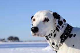 dalmatian dog breed u2013 dalmatian