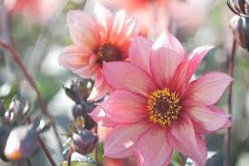 dahlias flowers mignon and single dahlias