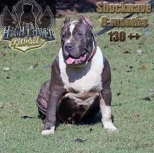 american pitbull terrier for sale in ohio high power pitbulls xxl bullies home page